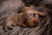 Puppies Sleeping On Rug At Home