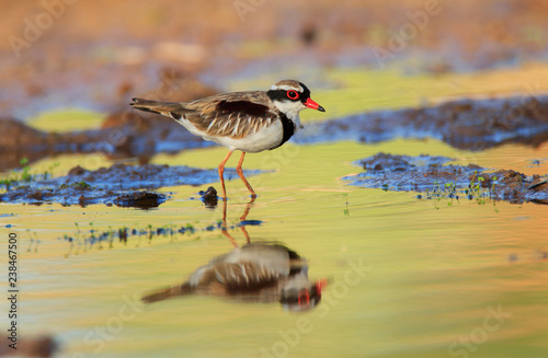 Photo  Black Fronted Dotterel standing in water