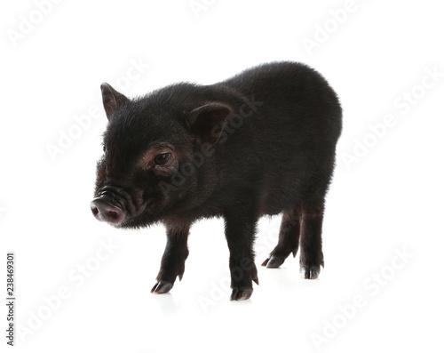 Adorable black mini pig on white background