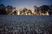 Cotton Plants Growing On Field...