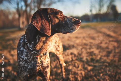 Fotografering  a beautiful purebred bird dog in a field