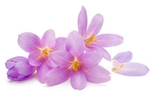 Lilac Crocus Flowers Isolated ...