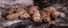 Brown Puppies Sleeping On Rug ...