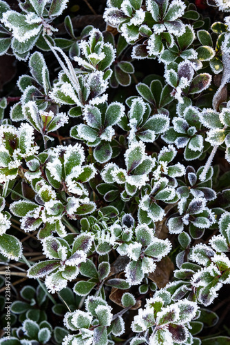 Fotografie, Obraz  Plant with small green leaves covered in frost, as a nature background