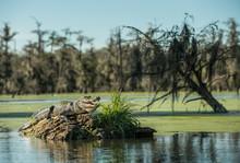 Alligator On Driftwood In Lake...