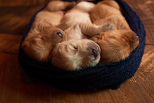 High Angle View Of Cute Puppie...