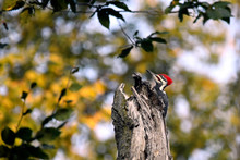 Side View Of Pileated Woodpecker Perching On Wood In Forest