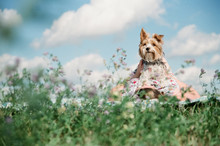 Teenage Girl With Yorkshire Terrier Lying On Field Against Sky During Sunny Day