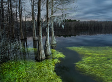 Trees In Cypress Swamp At Pine Log State Forest During Dusk