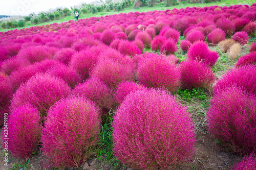 Kochia at Hitachi Seaside Park at Ibaraki, Japan.