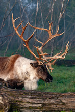 Side View Of Caribou Standing In Forest