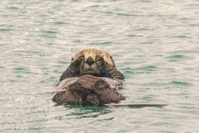 A Wild Sea Otter In Seward Alaska Napping With His Paws Covering Eyes