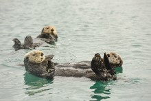 Three Curious Sea Otters Looking In Seward, Alaska
