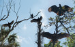 Low angle view of vultures perching on branches in forest against sky at Chassahowitzka Wildlife Refuge