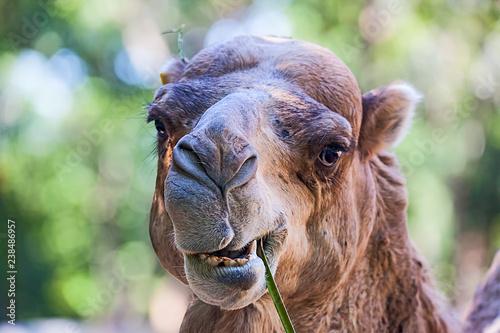 Kamel beim Fressen