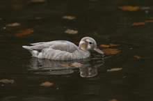 A Stunning Female Ringed Teal ...
