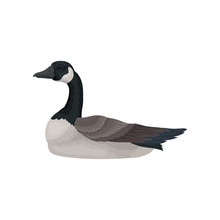 Beautiful Goose With Long Black Neck, White Cheek And Gray Body, Side View. Wild Bird. Flat Vector Icon