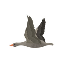 Large Gray Goose In Flying Action With Wide Open Wings. Wild Bird With Long Neck And Orange Beak. Flat Vector Icon