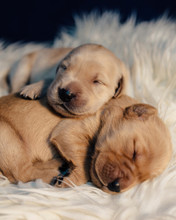 Close Up Of Puppies Sleeping On Rug At Home