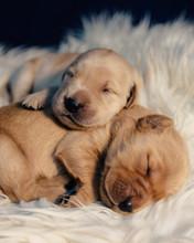 Close Up Of Puppies Sleeping O...