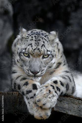 Poster Puma angry snow leopard portrait