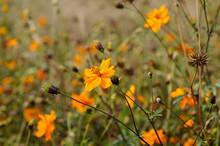 レンジ色の花 キバナコスモス