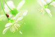 Leinwandbild Motiv Natural spring background. Red ladybug on white cherry flowers. Copy space. Green and yellow color.