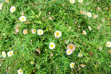 Top View Of Daisy Flowers Field, White Flower As A Background (Bellis Perennis, Day's Eye)