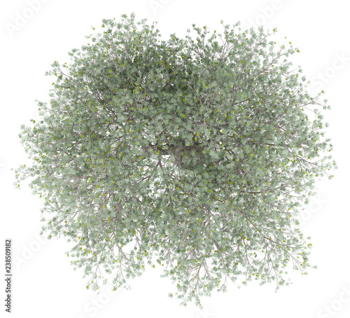 La pose en embrasure Oliviers olive tree with olives isolated on white background. top view