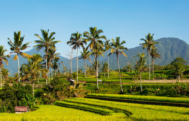 Rice terraces and blue sky, Ubud, Bali, Indonesia. Beautiful green young rice fields, natural tropical background. Rice farm, field, paddy. Travel concept.