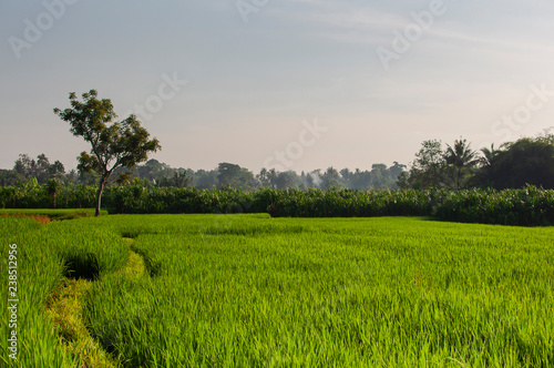 Foto op Plexiglas Asia land Green young rice field at sunrise. Ubud, Bali, Indonesia. Beautiful green rice fields, natural beautiful tropical background. Texture of growing rice, green grass. Rice farm, paddy.