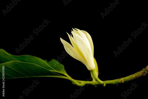 Fotografie, Obraz  White champaka Close up Black background