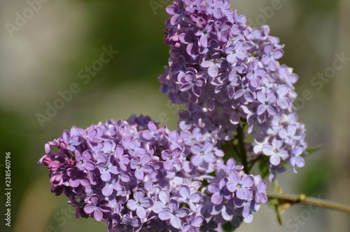 In de dag Lilac lilac