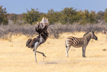 A Male Ostrich ( Struthio Camelus) Completes His Mating Ritual With A Flourish Of His Large Wings, Etosha National Park, Namibia.