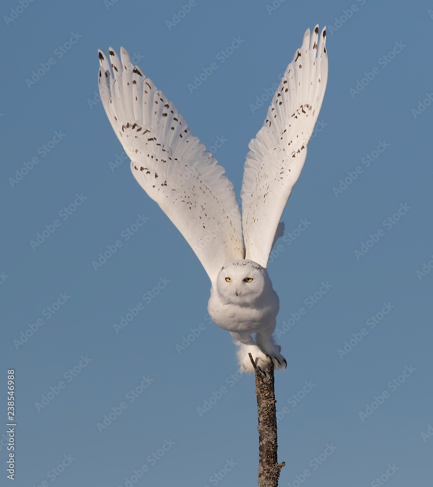Male Snowy owl (Bubo scandiacus) isolated against a blue background flying off in winter in Ottawa, Canada