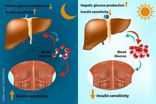 Fotografia  Skeletal muscle and liver metabolism for the regulation of systems glucose homeostasis