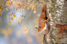 Portrait Of Eurasian Red Squirrel Climbing On Tree In Autumn