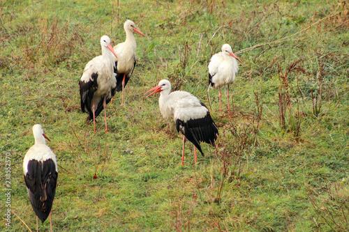 Fotografía  Flock of white storks on green grass in nature