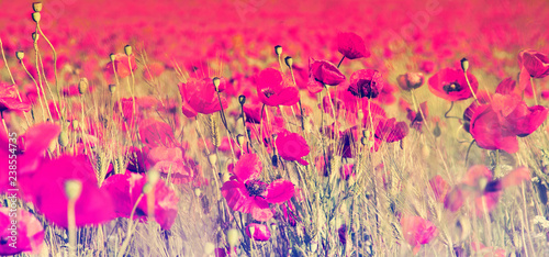 Fototapety, obrazy: Beautiful field of red poppies.
