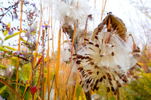 Germany, Showy Milkweed In Botanical Garden In Autumn