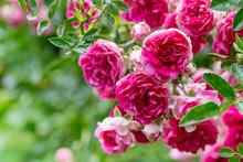 Macro Of Fresh Rose Flower Bus...