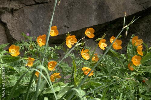 Valokuva  Californian Poppy