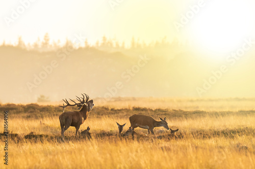 Fotografía  Herd of red deer cervus elaphus rutting and roaring during sunset