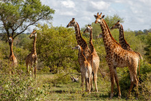 Giraffe Family Walking In The ...