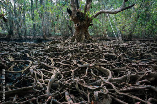 Photo The roots of a large tree that grows bigger