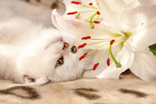 A Small White British Cat With Green Eyes Lies Upside Down On The Couch And Sniffs A Lily Flower That Lies Next To Her Muzzle.