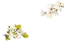 Beautiful Blooming Magnolia Flower Bouquet Isolated On White Background.