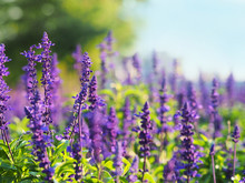 Field Of Blooming Sage In Bright Sunlight Against A Forest. Salvia Officinalis Or Sage, Perennial Plant,  Blue And Purplish Flowers. Lamiaceae