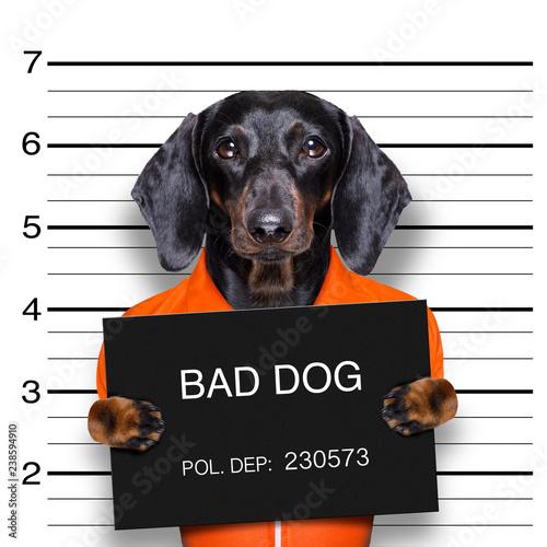 Staande foto Crazy dog dachshund police mugshot