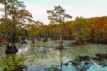 Fall Color On Cypress Trees In Bayou Of Caddo Lake In East Texas